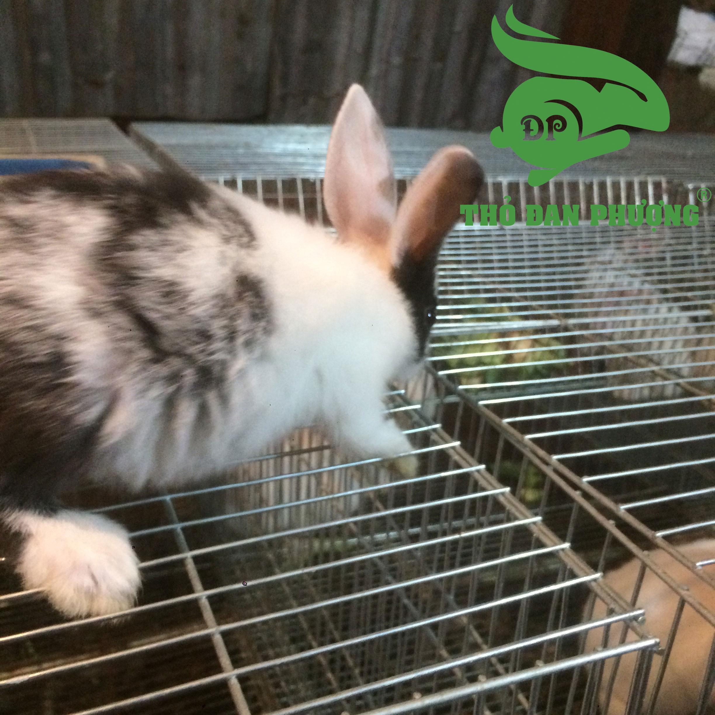Thỏ cảnh Petit