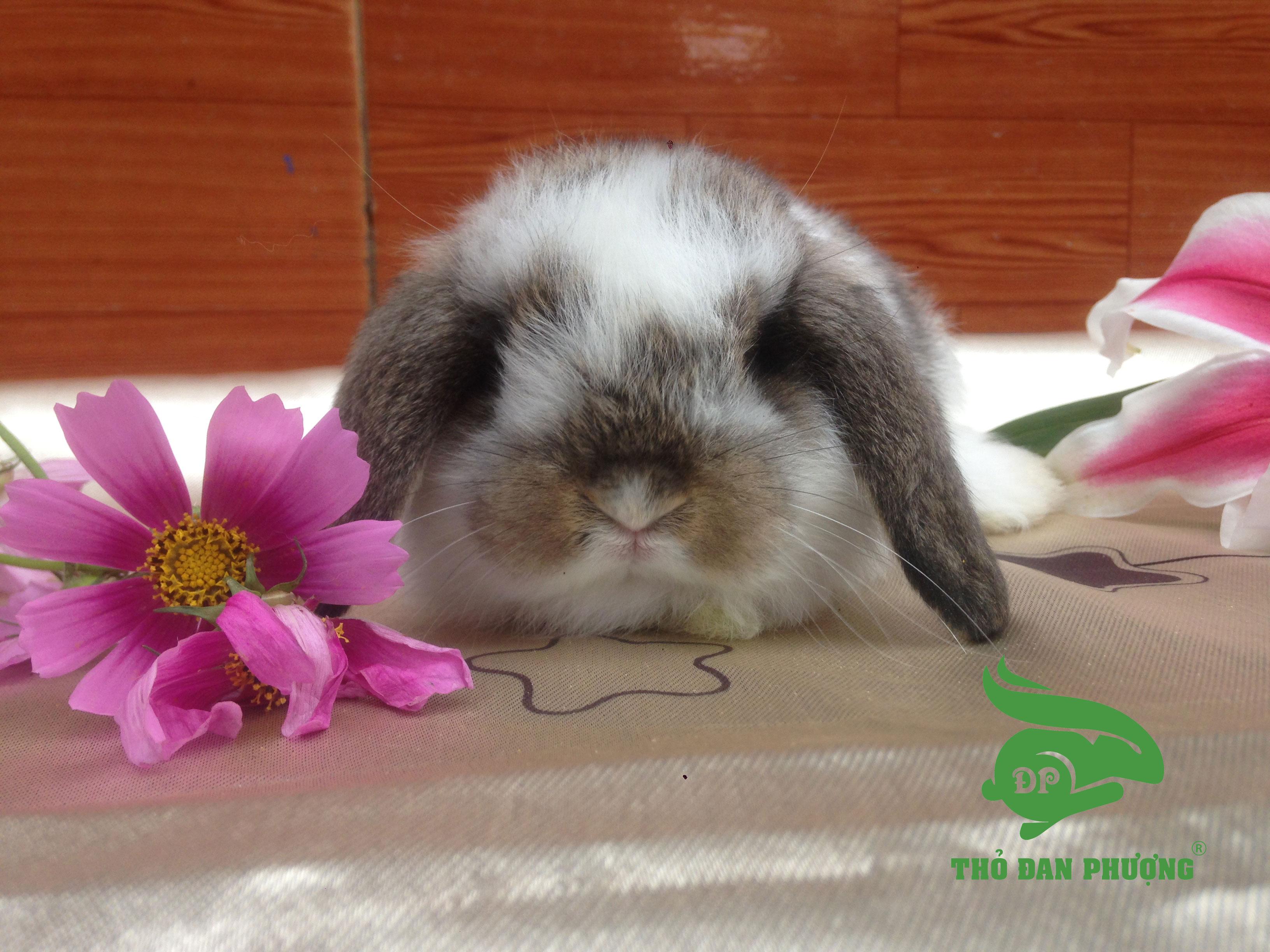 Thỏ cảnh Minilop Roger