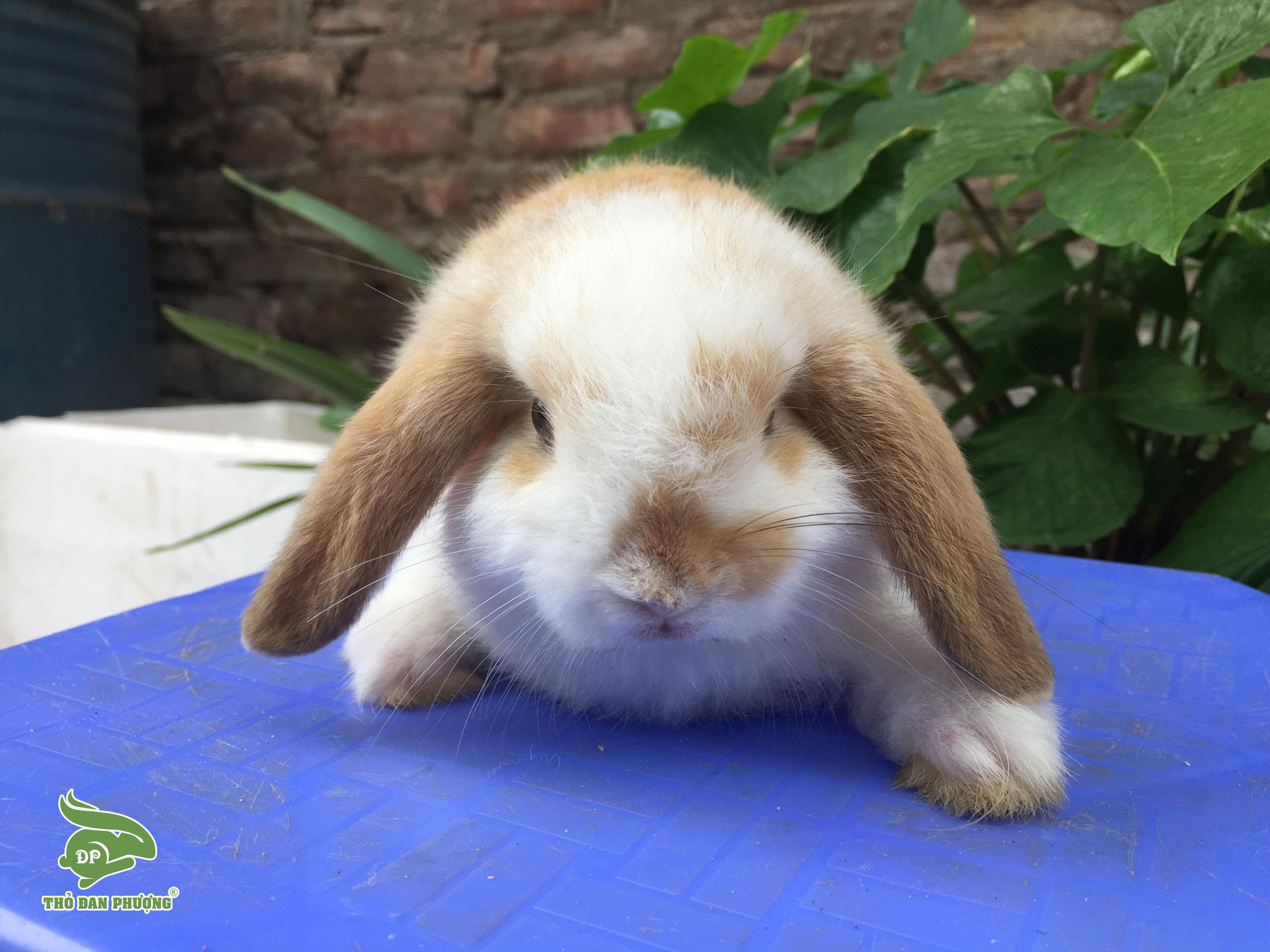 Thỏ cảnh MiniLop trắng vàng