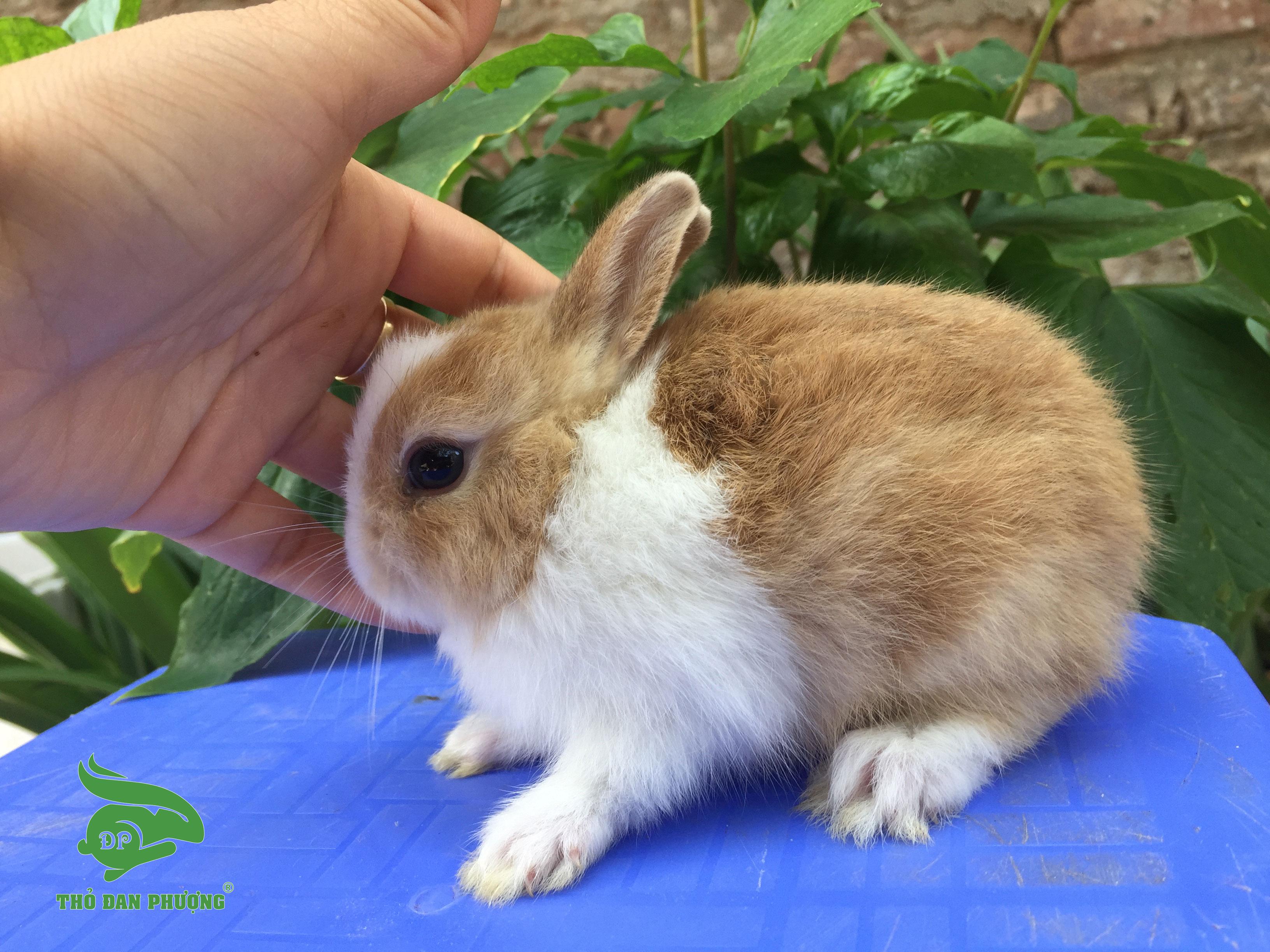 Thỏ cảnh mini Hà Lan Vàng trắng