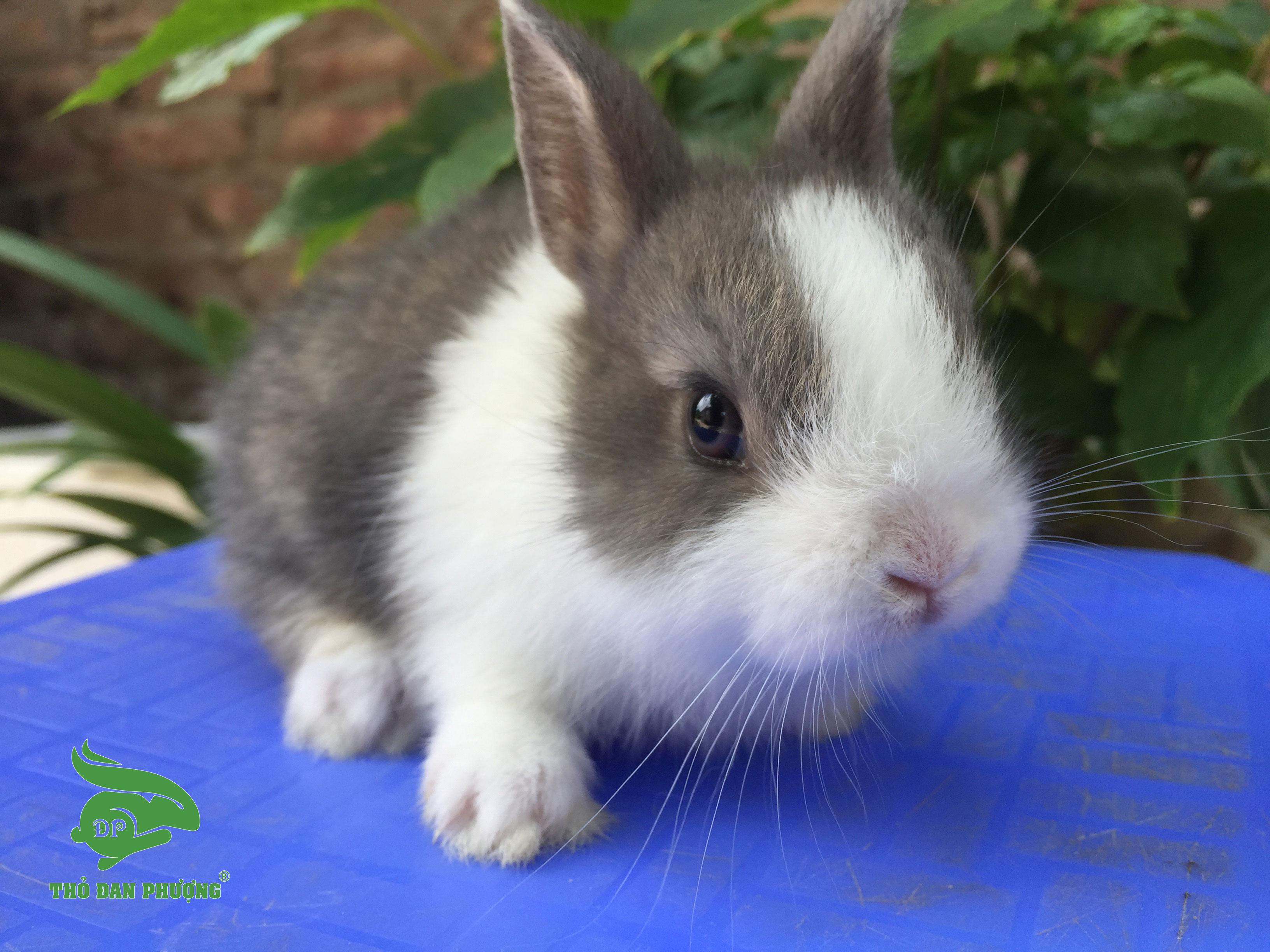 Thỏ cảnh mini Hà Lan Lùn xám trắng