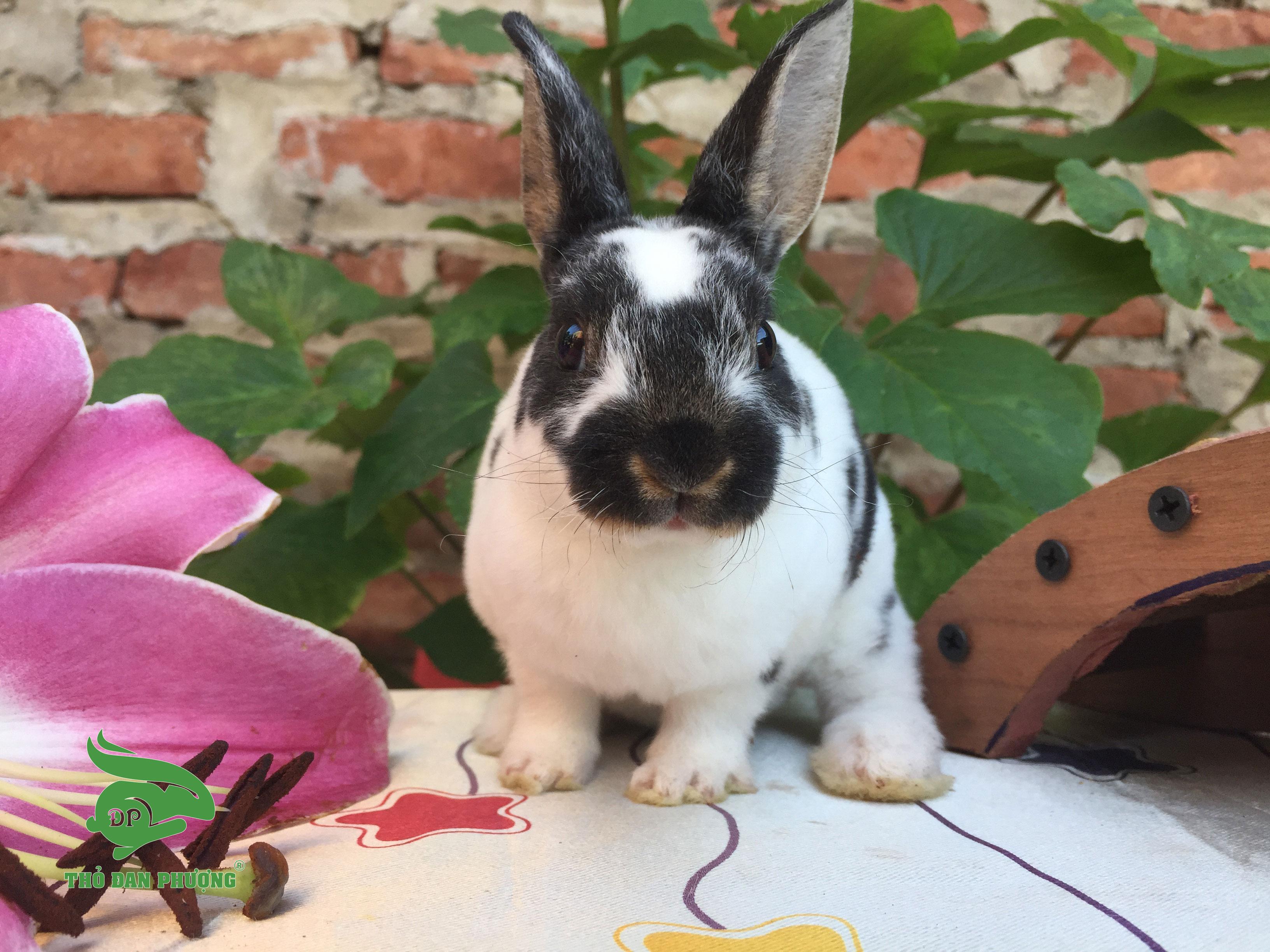 Thỏ cảnh mini Rex loang trắng đen
