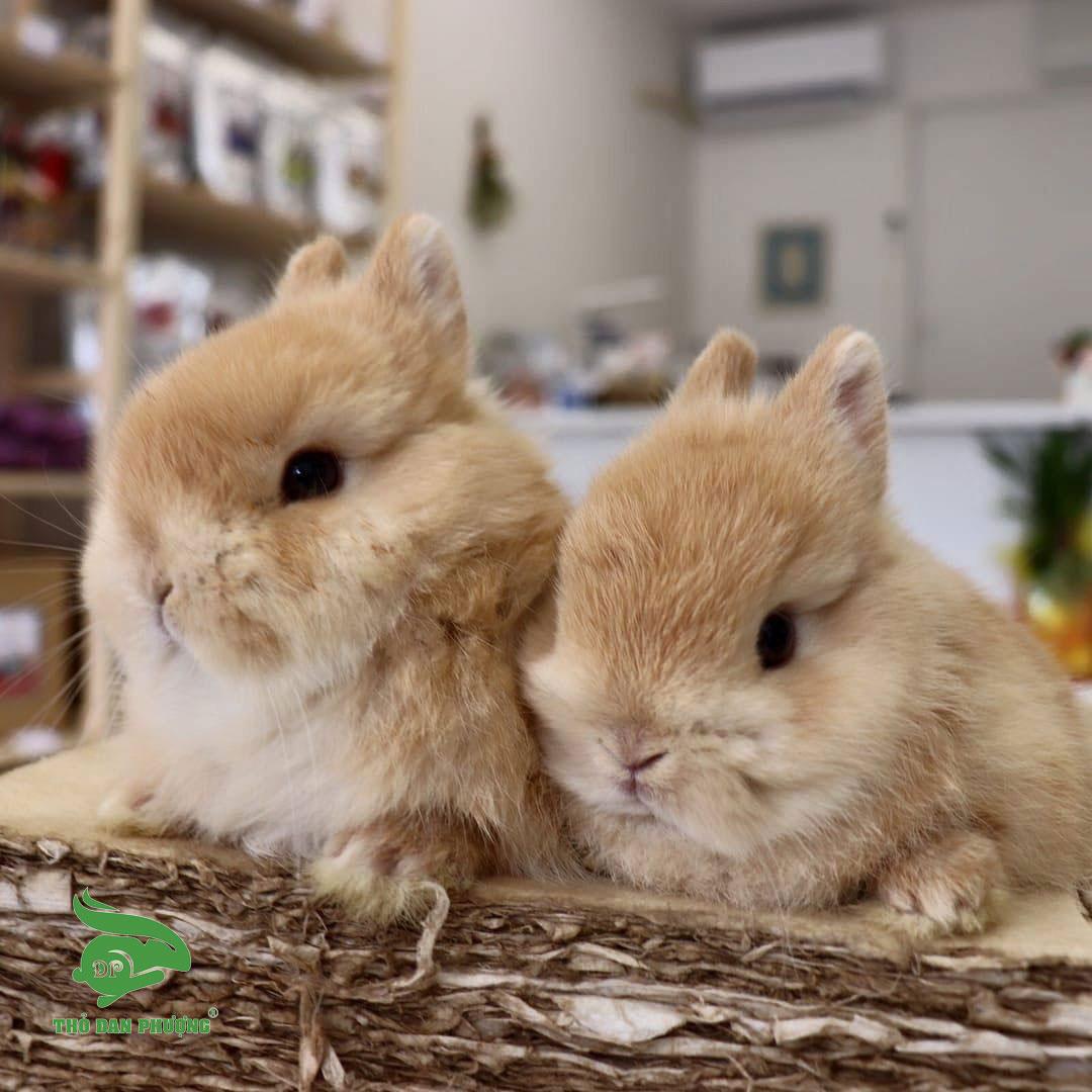 Bộ đôi thỏ Mini Hà Lan lùn màu vàng