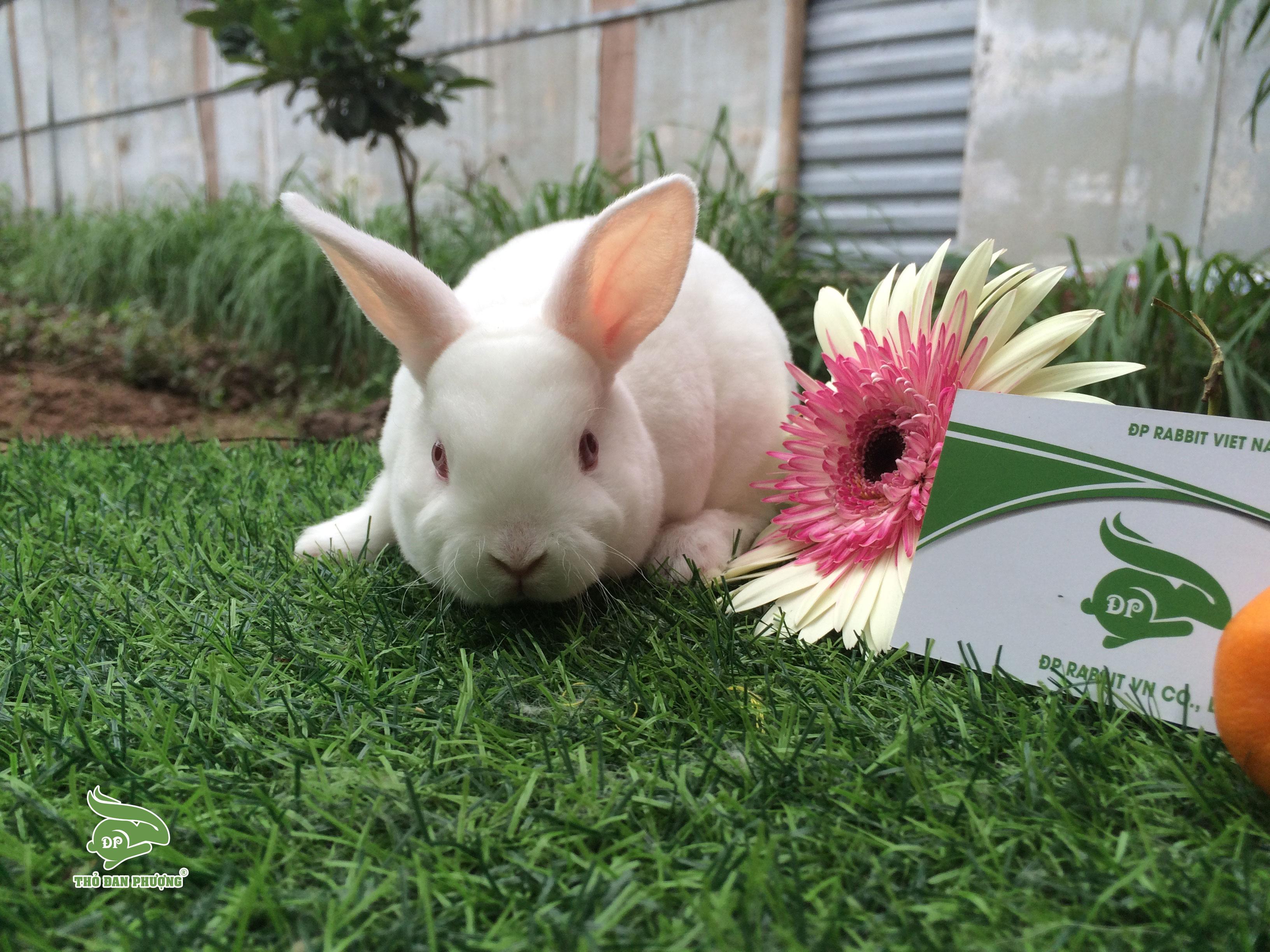 mini-rex-rabbit