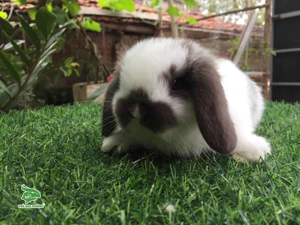 tho-minilop-rabbit