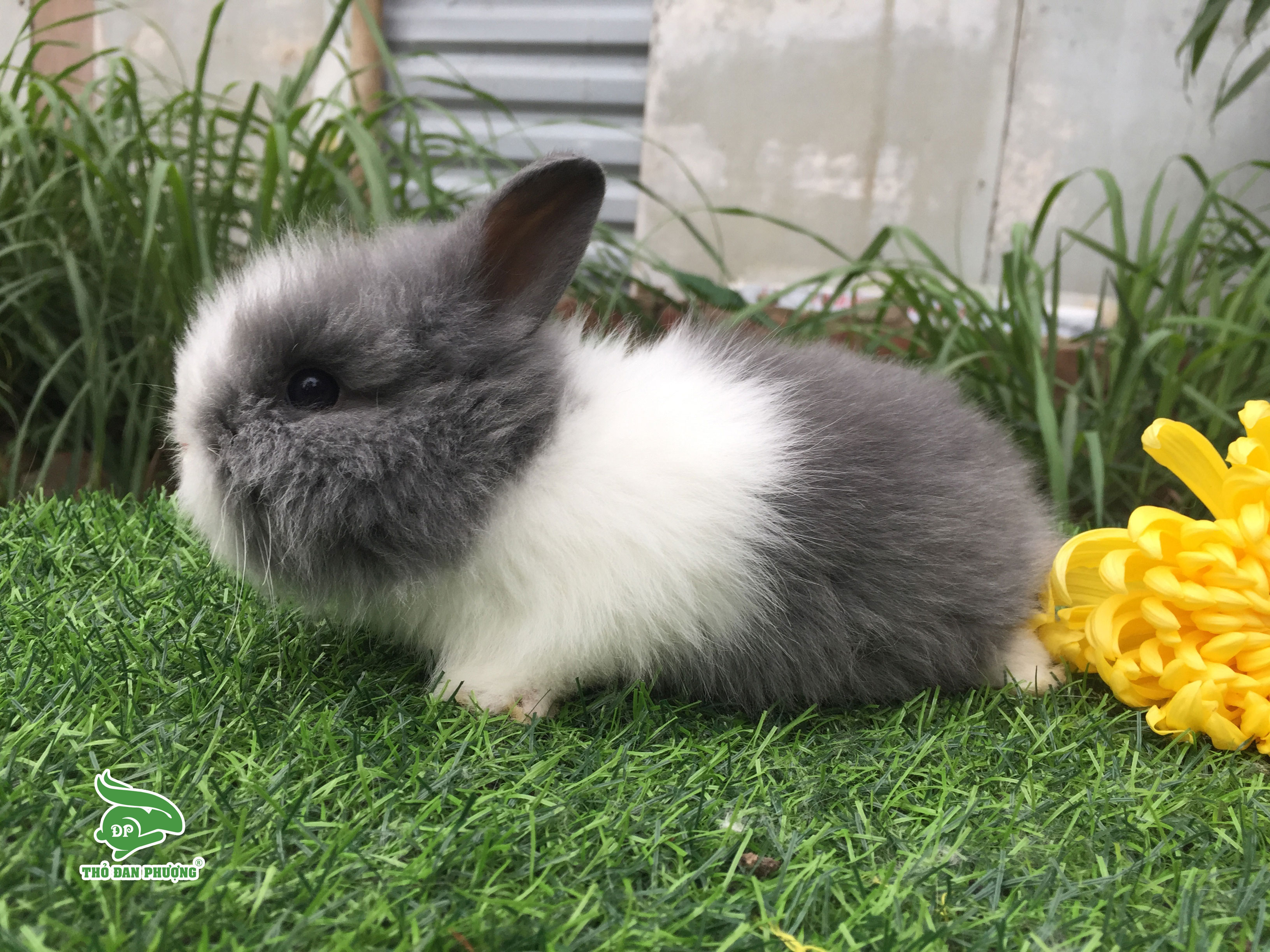 tho-su-tu-lion-head-rabbit